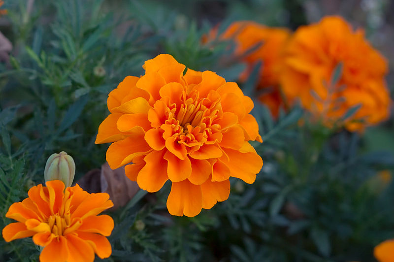 growing-marigold1